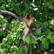 Brown monkey — Foto Stock