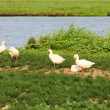 White geese - Stock Photo