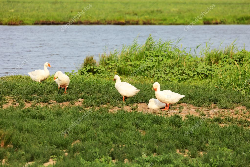 White geese on green field near a pond — Stock Photo #11587071