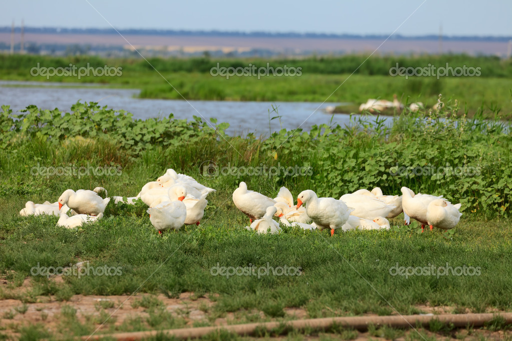 White geese on green field near a pond  Stock Photo #11587075