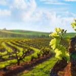 Barossa Valley Vineyard — Stock Photo #11185708