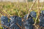 Shiraz Grapes — Stock Photo