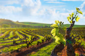 Barossa Valley Vineyard — Stock Photo