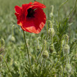 Poppy blossomed — Stock Photo