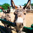 Stock Photo: Donkey outdoors