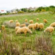 Herd of sheep eating grass at meadow - Stock Photo