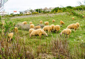 Troupeau de moutons manger l'herbe à meadow — Photo