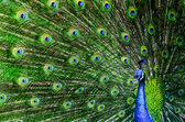 Peacock with beautiful multicolored feathers — Stok fotoğraf