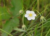 牧草地で開花イチゴ — ストック写真