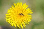 Bee on dandelion — Stock Photo