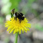 Bumblebee on dandelion — Stock Photo