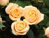 ślub kilka róż krem — Zdjęcie stockowe