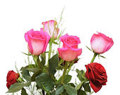 Pink roses on a white background — Stock Photo