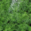 Stock Photo: Organically grown dill in the soil