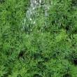 Organically grown dill in the soil — Stock Photo