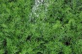 Kopr ekologicky pěstované v půdě — Stock fotografie