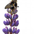 Butterfly on lupin flower — Stock Photo