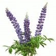 Lupine flower on a white background — Stock Photo