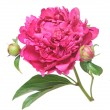 One flower, stem and leaves of a pink peony (Paeonia lactiflora) — Stock Photo #11171354