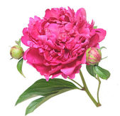 One flower, stem and leaves of a pink peony (Paeonia lactiflora) — Stock Photo
