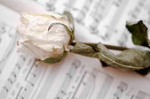 The white dry rose is lying on notes — 图库照片