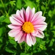 Pink dahlia flower with yellow center over green grass — Stock Photo #12172947