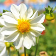 White dahlia flower with yellow center over green grass — Stock Photo #12173146