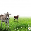 Cows on white background — Stock Photo #11603939