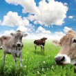Cows on green grass and blue sky with clouds — Stock Photo #11604017