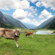 Cows on a meadow — Stock Photo #11605462