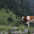 Cow on a meadow — 图库照片