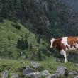 kráva na louce — Stock fotografie