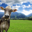 Cow on a meadow — Stock Photo #11605612
