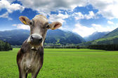 Cow on a meadow — Stock Photo