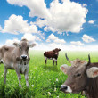 Cows on green grass and blue sky with clouds — Stock Photo
