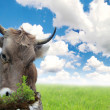 Cow on a meadow — Stock Photo #11730925