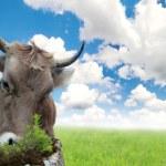 bir çayır inek — Stok fotoğraf