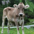 Cow on a meadow — Stock Photo #11731001