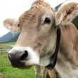 Cow on a meadow — Stock Photo #11731011