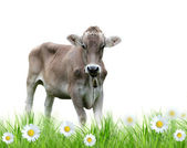 Cow over white background — Stock Photo
