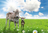 Cow with a calf on a beautiful meadow — Stock Photo
