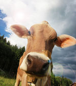 Корова на лугу — Стоковое фото