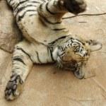 Playful tiger cub — Stock Photo