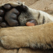 Stock Photo: Tiger Cub paws