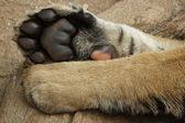 Tiger Cub paws — Stock Photo