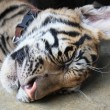Sleeping Tiger Cub - Stock Photo
