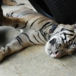Sleeping Tiger Cub — Stock Photo