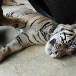 Sleeping Tiger Cub — Stock Photo #11079774