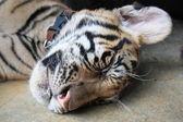 Sleeping Tiger Cub — Stock Photo