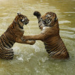 Fighting tigers — Stock Photo #11338928